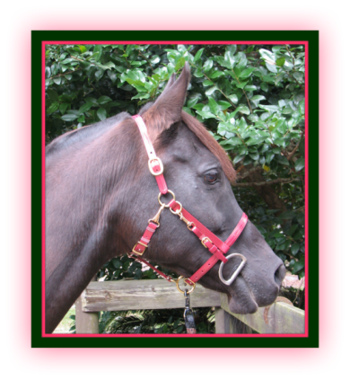 "T-H/BQ ""Quick"" Halter/Bridle w/o Browband"