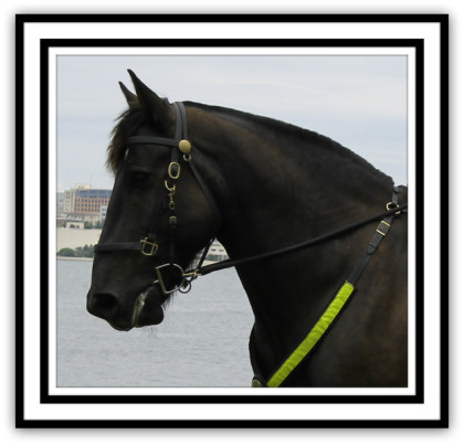 """JACK"" Percheron"